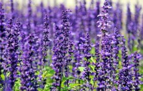 Lavender 1507499 1920