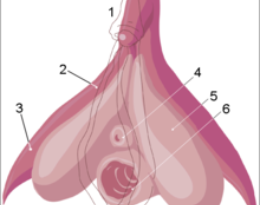 220Px Clitoris Inner Anatomy Numbers