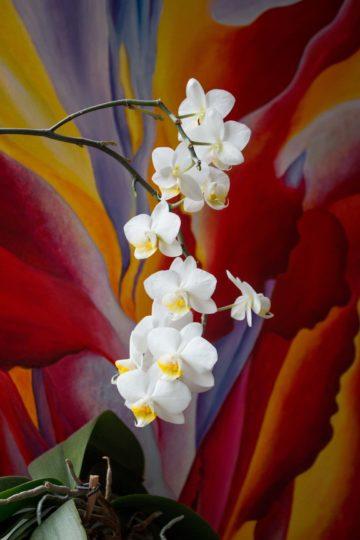 Orchidee Img 4467